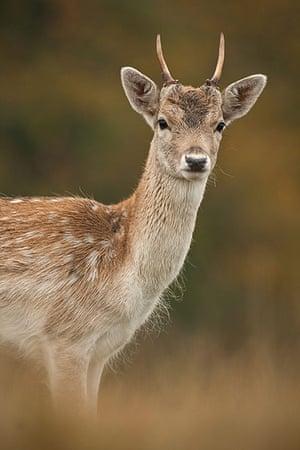 Wildlife in the city: Young Fallow Deer Buck (Dama dama)