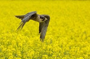 Wildlife in the city: Peregrine Falcon