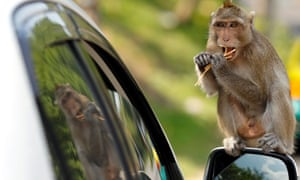 A monkey's business:  a monkey sits on a wing mirror nibbling a snack offered to the animal from a tourist in a car on a road in the Chonburi province, Thailand.