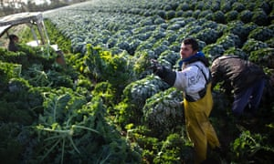 A farmer harvests kale on a field in Hemmingen, Germany. The kale harvest begins after the first night of frost.