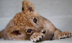 Bantu, a lion cub born in captivity two months ago, in the zoo in Cali, Colombia