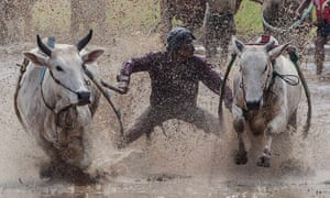 Splits on the move: Indonesian jockey competes during a traditional Pacu Jawi cow race on the muddy unplanted paddy fields of Tanah Datar, Indonesia. Pacu Jawi is held by farmers before the start of the new harvesting season.