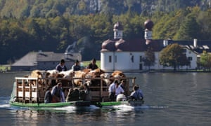 Floating cows in the bavarian mountains: the trip by boat is the only way to bring the cattle from their remote summer mountain-pastures back to their homestead.