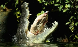 Big Breakfast:  Rex, one of the world's largest crocodiles eats beef ribs at Wild Life Sydney Zoo. The 700kg crocodile ate his first meal today after three months in hibernation.