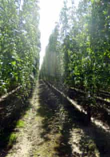 A Kentish hop garden ready for the harvest