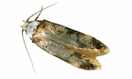 The common clothes moth