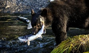 Alaskan black bear catching salmon, near Port Valdez, Alaska, 2012