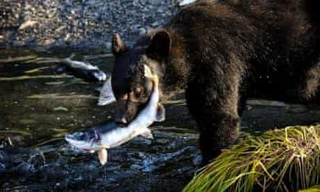 Alaskan black bear catching salmon, near Port Valdez, Alaska, 2012