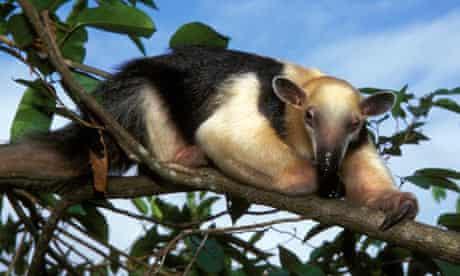A collared anteater in a tree in its native cerrado habitat in Goias state, Brazil