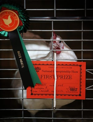 Poultry Show: The first prize winnng Best White bird