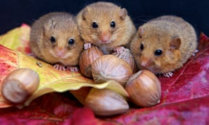 Pick me! These cute, tiny, and extremely lucky trio of orphaned Cornish Dormice will not be home for Christmas. They were discovered close to their dead mother in the hamlet of Middlewood on the edge of Bodmin Moor.