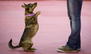 A dog performs tricks during a dog dance session at the pet fair in Berlin.