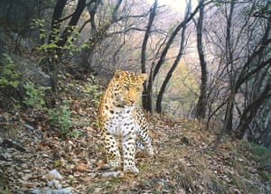BBC Wildlife Camera-trap: Animal Portraits and overall winner: Leopard path by Zhou Zhefeng