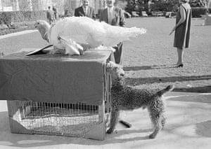 Turkey pardoning: Caroline Kennedy's pet Welsh terrier and turkey