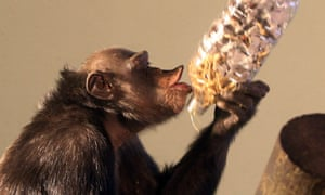 What mid-life crisis? Sophie the Chimpanzee eats food laid out for her as she celebrates 31st birthday at Edinburgh Zoo.