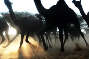 Camel fair: A herd of camels kick up sand as they rush down a dusty embankment