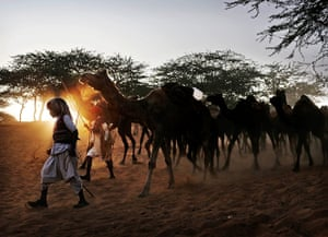 Camel fair: Indian herders lead their camels to the annual fair