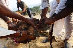 Camel fair: A camel gets its nose pierced