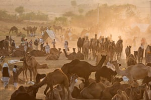 Camel fair: Indian herders and camels at Pushkar camel fair