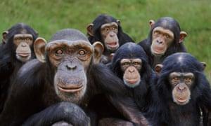 Orphan chimpanzees