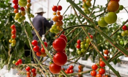 Food from the desert: tomatoes