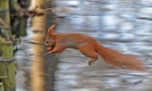 A squirrel jumps over a brook in Lazienki park, Warsaw, Poland on a sunny day.