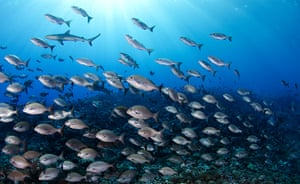 Pitcairn: A grey reef shark patrols the reef over a school of rudderfish