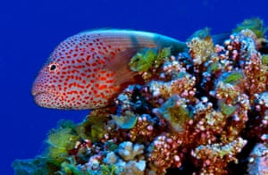 Pitcairn: The blackside hawkfish is an ambush predator