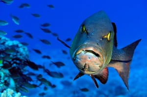 Pitcairn: The twinspot snapper is an abundant predator