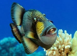 Pitcairn: The Titan triggerfish
