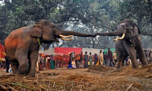 Two elephants reach out to each other at the Sonepur cattle fair in Saran district in the eastern Indian state of Bihar. The fair, which is held annually, was originally a cattle and animal market where traders bought and sold livestock on the holy river Ganges.
