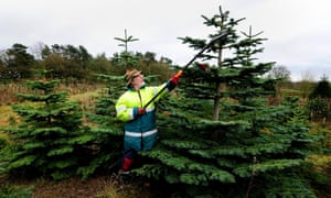 Bradgate Tree Plantation manager Geoff prunes Christmas trees at Warren Hill, Leicestershire.