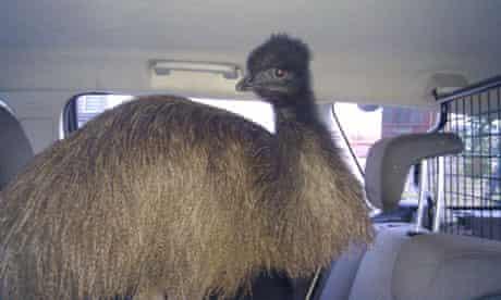 Escaped emu in Barnstaple