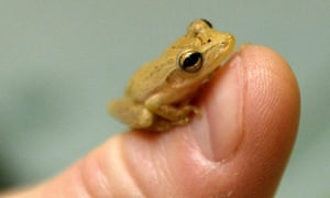 He's travelled a long way. A tiny frog, probably in the Hyperolius family, is pictured at the Protected Animals Rehabilitation Centre in Przemysl, Poland, after being found in a box of bananas from Ecuador.