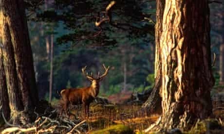 Red deer stag in Scots pine woods, Scottish highlands