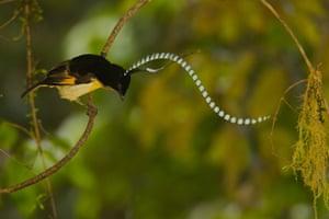 Birds of Paradise: Papua New Guinea: Adult male King of Saxony Bird of Paradise