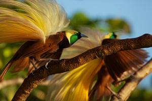 Birds of Paradise: Aru Islands, Indonesia: Greater Bird of Paradise