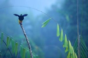 Birds of Paradise: Papua New Guinea: Twelve-wired Bird of Paradise
