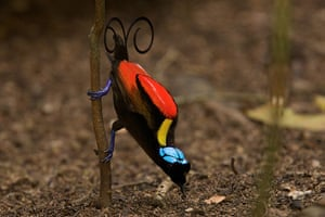 Birds of Paradise: Papua New Guinea: Wilson's Bird of Paradise