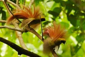 Birds of Paradise: Papua New Guinea: Goldie's Bird of Paradise