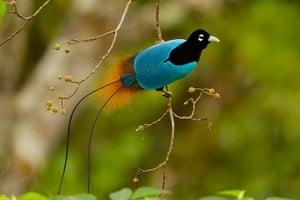 Birds of Paradise: Papua New Guinea: A Blue Bird of Paradise