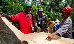 Loggers marking stump of ayous tree, Cameroon