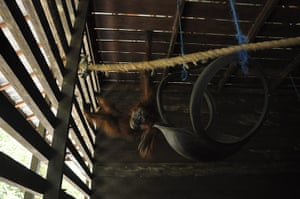 Bornean Orangutan: Aan With 104 Air Gun Pellet Wounds