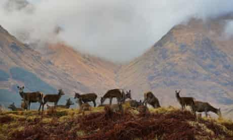 Red deer hinds graze as the rutting season draws to a close in Glen Etive, Scotland. The rutting season sees the large red deer stags compete against each other for mating rights and can be heard roaring and bellowing in an attempt to attract the hinds.
