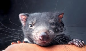A 10-month-old Tasmanian Devil joey