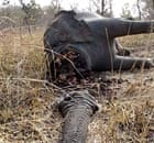 The carcass of an elephant slaughtered by poachers in Bouba Ndjida national park, Cameroon.