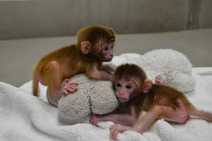 2012 in Science : Macaque monkey chimeras