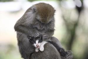 Monkey mothers Kitten: Long Tailed Monkey Acts As Mother To A Kitten