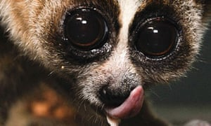One of the newly identified species of slow loris, Nycticebus kayan, found in Borneo