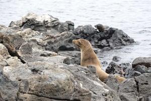 Week in wildlife: A seal in Pinzon Island, in the Galapagos archipielago, Ecuador